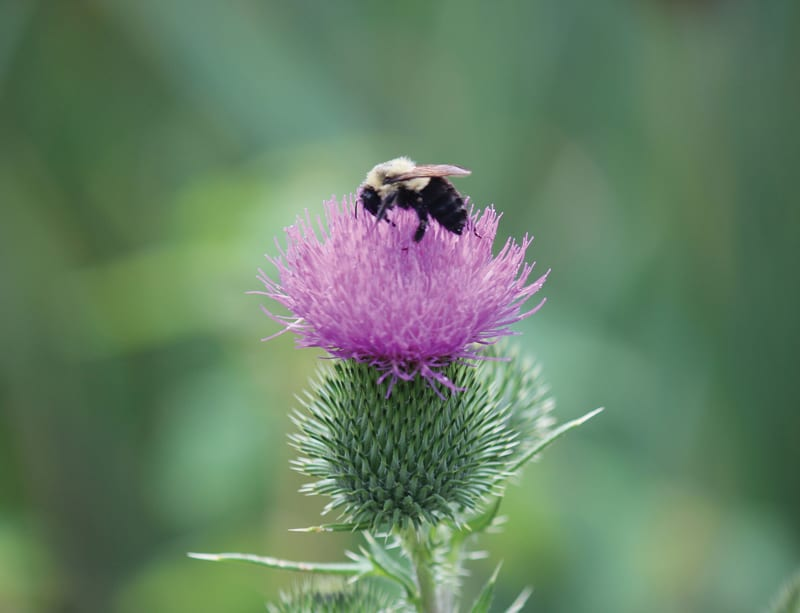 Bee on thistle. Courtesy of Barbara Ricketts