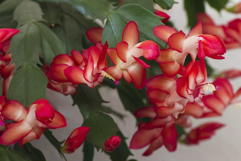 A beautiful christmas cactus is flowering with red pink flowers in bloom