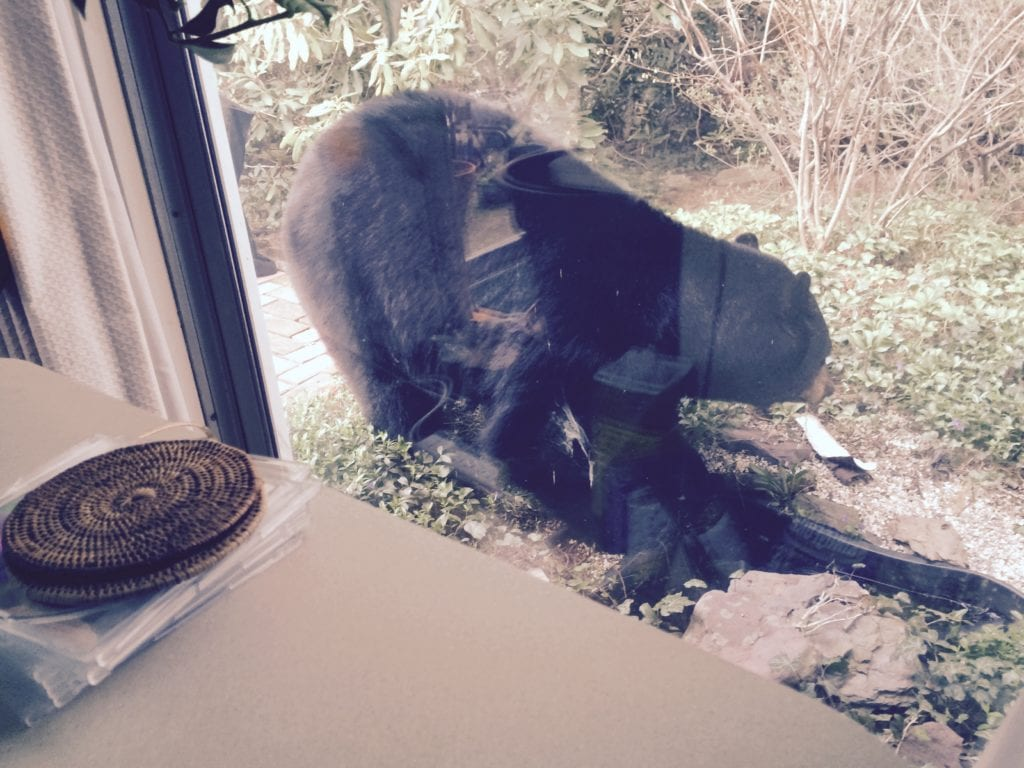 West Hartford resident Jeff Grody took this photo of a bear drinking from a pond outside his home on April 22, 2016. Today he found a bear inside his house. Photo courtesy of Jeff Grody