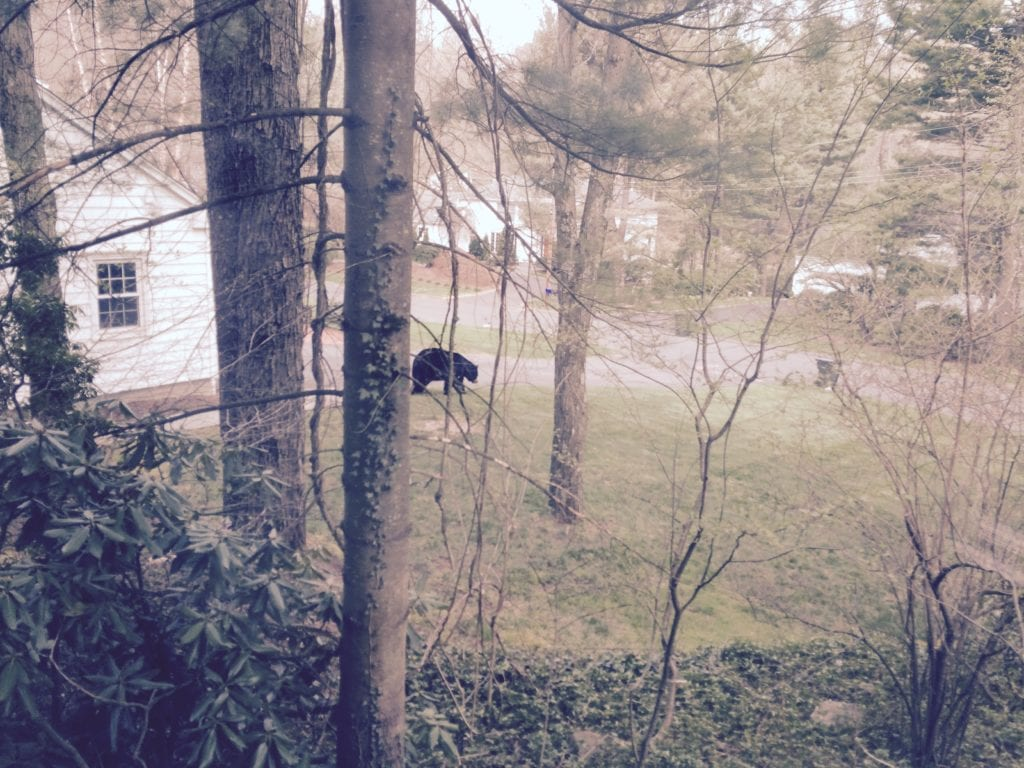West Hartford resident Jeff Grody took this photo of a bear outside his home on April 22, 2016. Today he found a bear inside his house. Photo courtesy of Jeff Grody