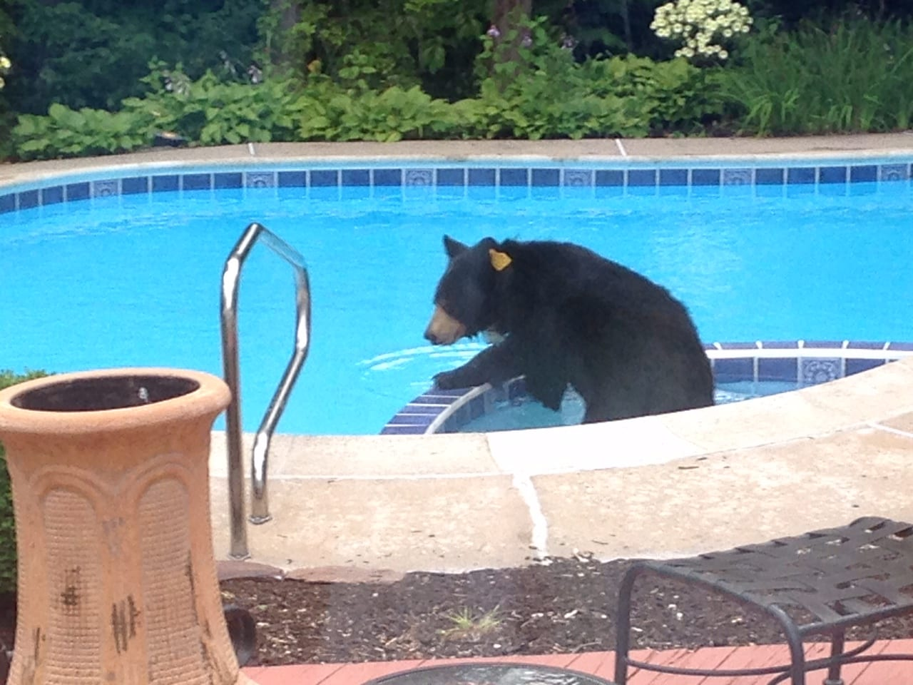 West hartford weather is perfect for swimming even for bears we ha west hartford news for Bears in swimming pool new jersey