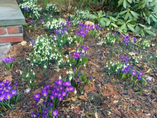Crocuses and snowdrops in West Hartford on Feb. 25, 2017. Photo credit: Ronni Newton